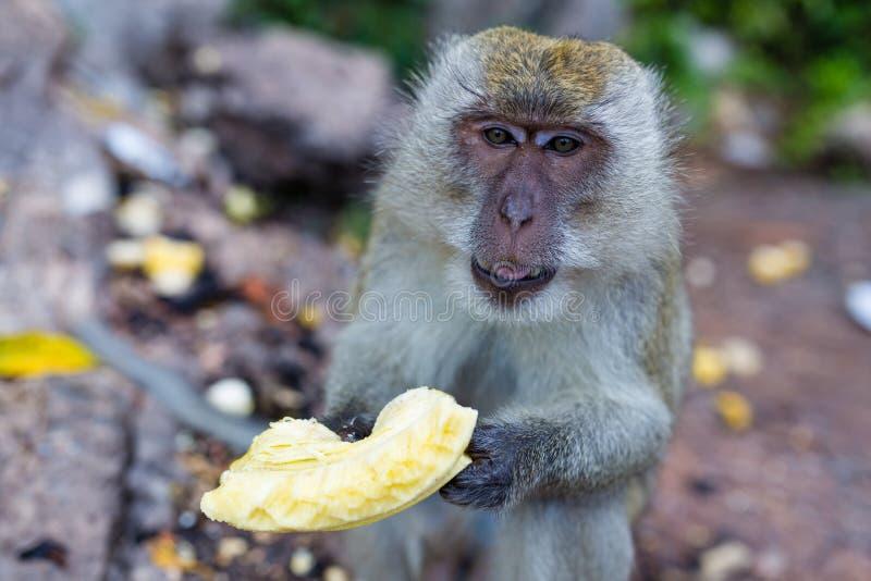 Πίθηκος που τρώει τους νωπούς καρπούς υπαίθριους Ζώο της Ταϊλάνδης στοκ εικόνες