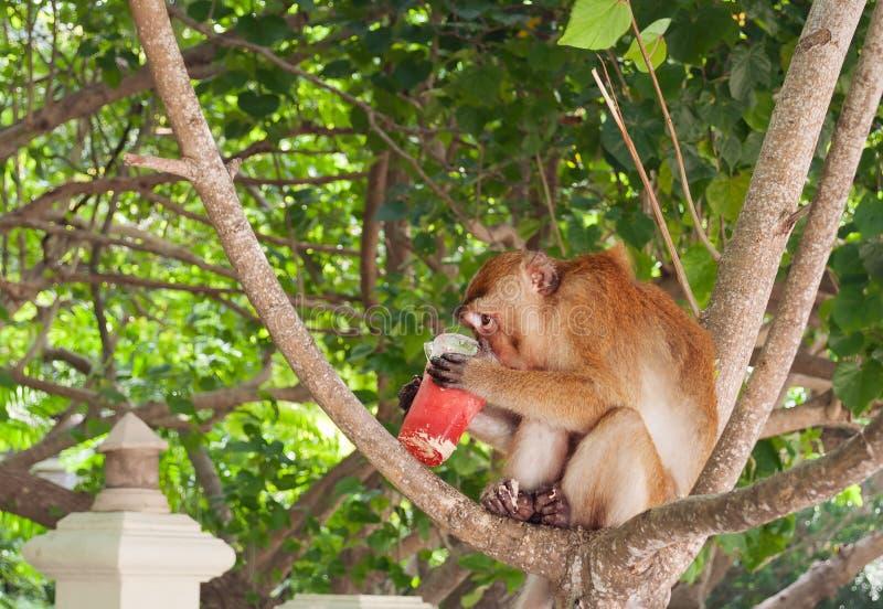 Πίθηκος που τρώει το κούνημα φραουλών στην παραλία Railay στοκ φωτογραφία με δικαίωμα ελεύθερης χρήσης