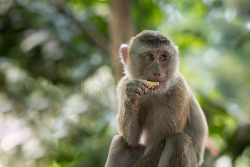 Πίθηκος που τρώει το πρόγευμα στοκ εικόνα με δικαίωμα ελεύθερης χρήσης