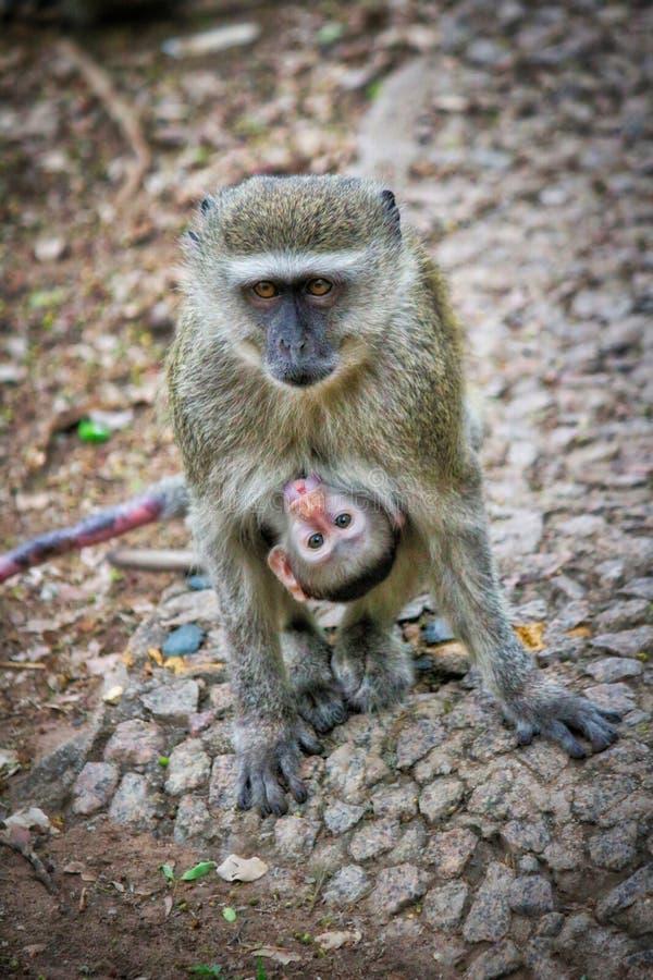 Πίθηκος που φέρνει το μωρό της στοκ φωτογραφία με δικαίωμα ελεύθερης χρήσης