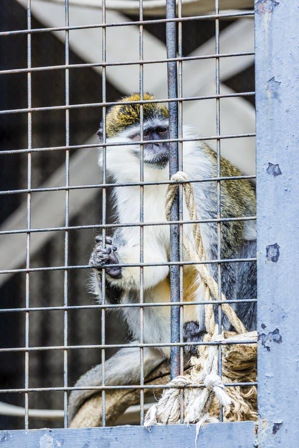 Πίθηκος σε ένα κλουβί στο ζωολογικό κήπο στοκ φωτογραφία