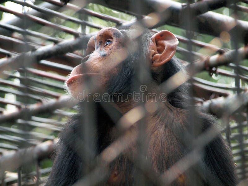 Download Πίθηκος σε ένα κλουβί στοκ εικόνα. εικόνα από αστείος - 62706751