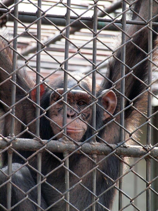 Download Πίθηκος σε ένα κλουβί στοκ εικόνα. εικόνα από γορίλλας - 62706787