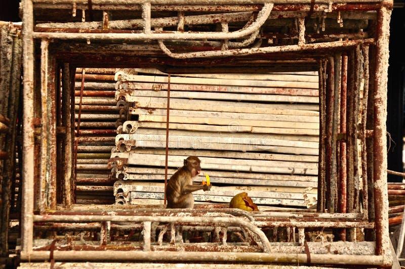 Πίθηκος σε ένα μεταλλικό πλαίσιο που τρώει τα αγαπημένα τρόφιμα στοκ φωτογραφίες με δικαίωμα ελεύθερης χρήσης