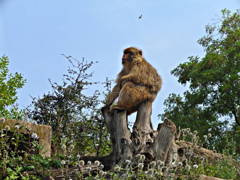 Πίθηκος σε ένα πάρκο - ζωικό υπόβαθρο - μεγάλος προϊστάμενος στοκ εικόνες