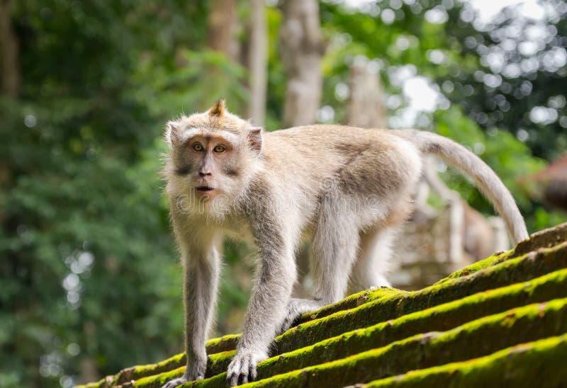 Πίθηκος στο ζωικό δάσος, Ubud, νησί του Μπαλί στοκ φωτογραφία