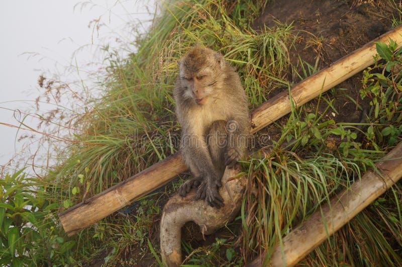 Πίθηκος στο ηφαίστειο Batur στοκ εικόνα με δικαίωμα ελεύθερης χρήσης