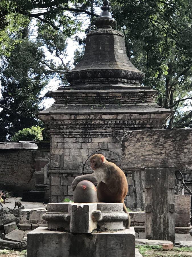 Πίθηκος στο ναό στοκ φωτογραφία