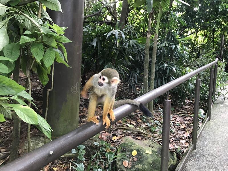 πίθηκος στο singaporezoo στοκ φωτογραφίες με δικαίωμα ελεύθερης χρήσης