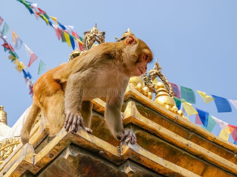 Πίθηκος στο stupa στο ναό πιθήκων, Κατμαντού, Νεπάλ στοκ εικόνα