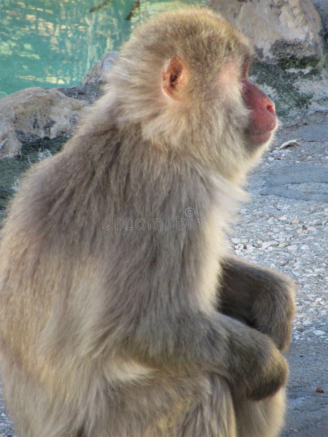 Πίθηκος της Ιαπωνίας που κοιτάζει μακριά στοκ εικόνες