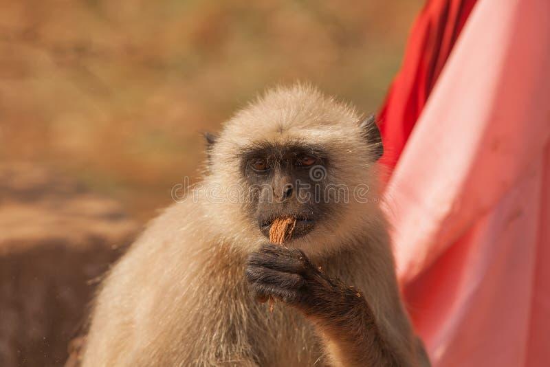 πίθηκος της Ινδίας στοκ εικόνες