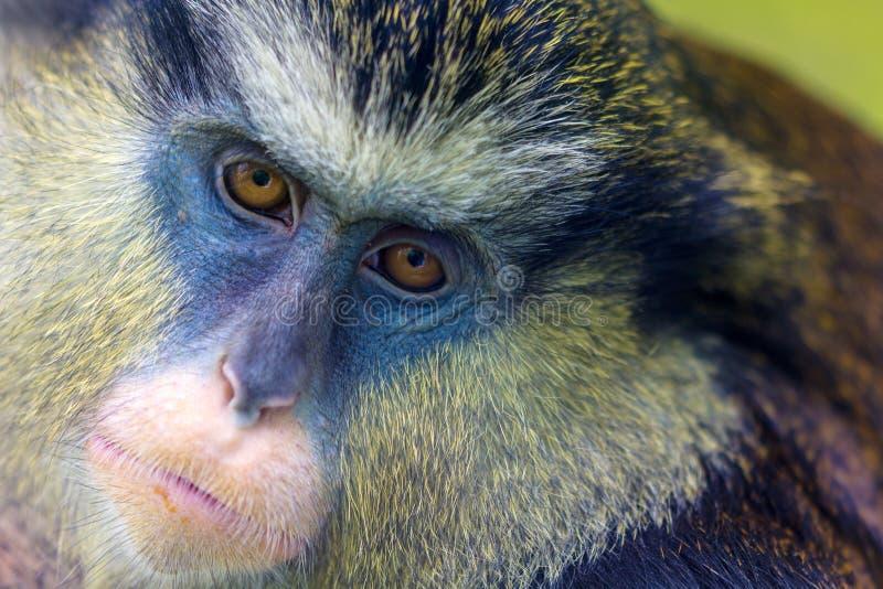 Πίθηκος της Mona στοκ φωτογραφίες