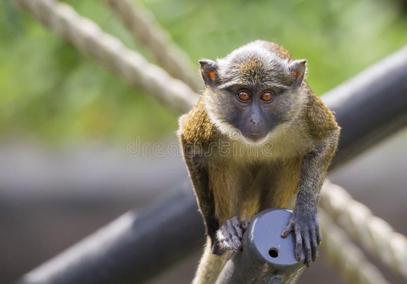 Πίθηκος της Mona στοκ εικόνες