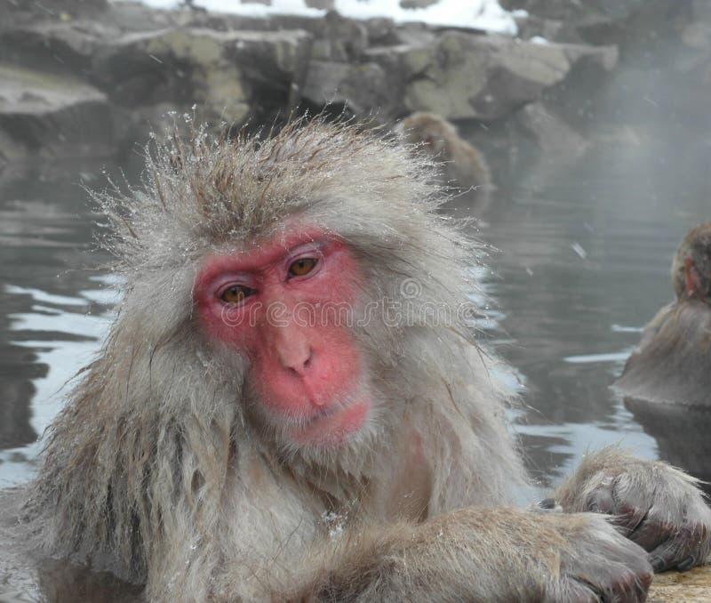 Πίθηκος χιονιού, Ιαπωνία στοκ εικόνες