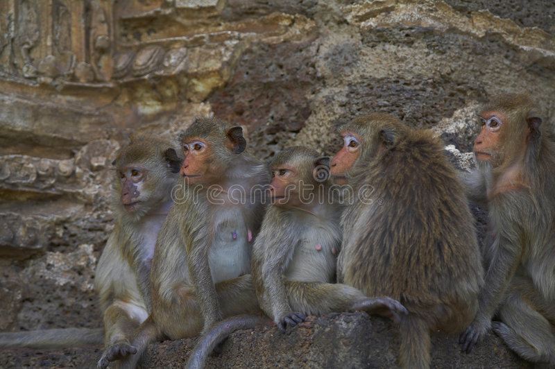 Download πίθηκος 14 στοκ εικόνα. εικόνα από wildlife, πρόσωπο, αδιάφορα - 1525361