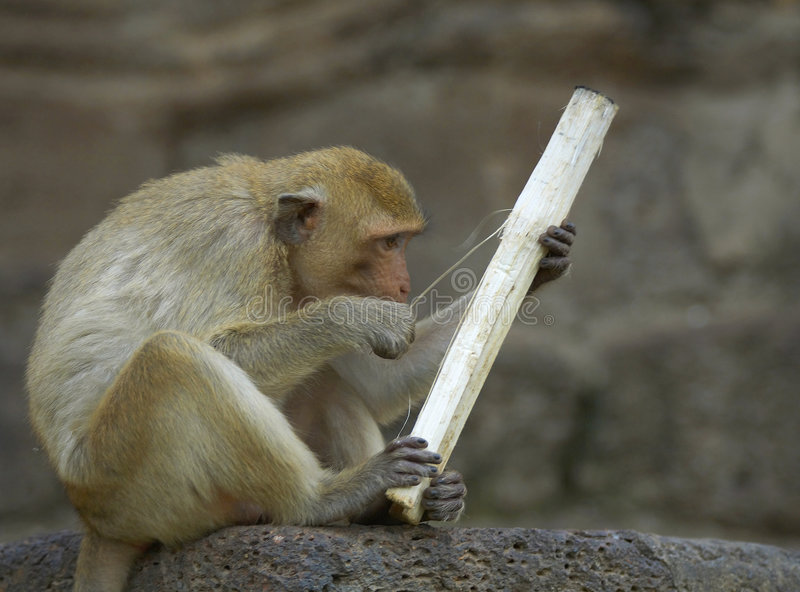 Download πίθηκος 21 στοκ εικόνες. εικόνα από σεβασμός, αρχιεπίσκοπος - 1525484