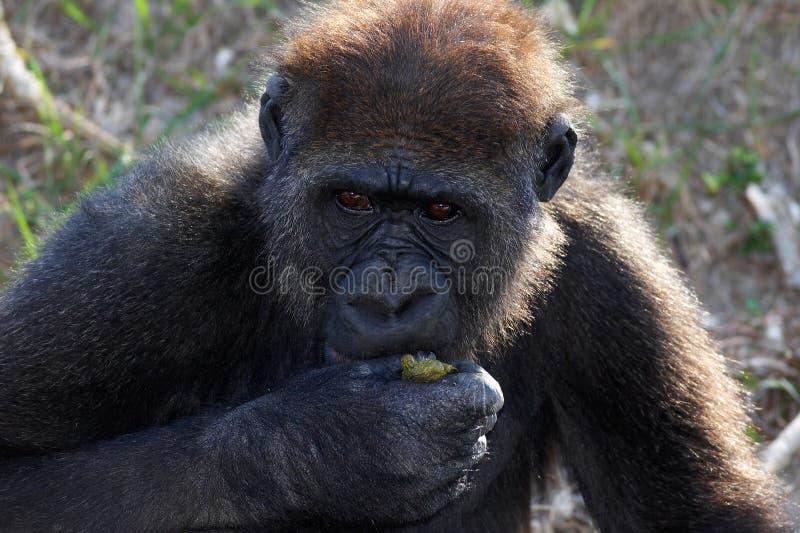 πίθηκος στοκ εικόνες με δικαίωμα ελεύθερης χρήσης