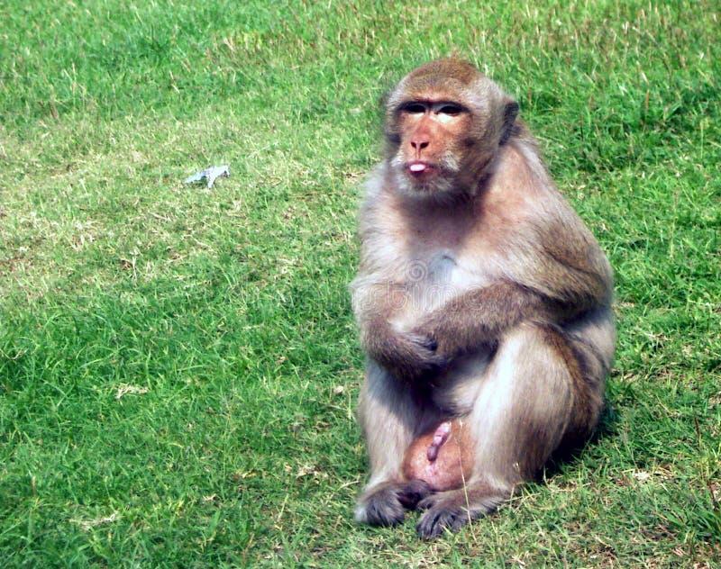 Πίθηκος Δωρεάν Στοκ Φωτογραφίες