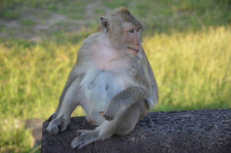Πίθηκος, Angkor Wat, Καμπότζη στοκ φωτογραφία