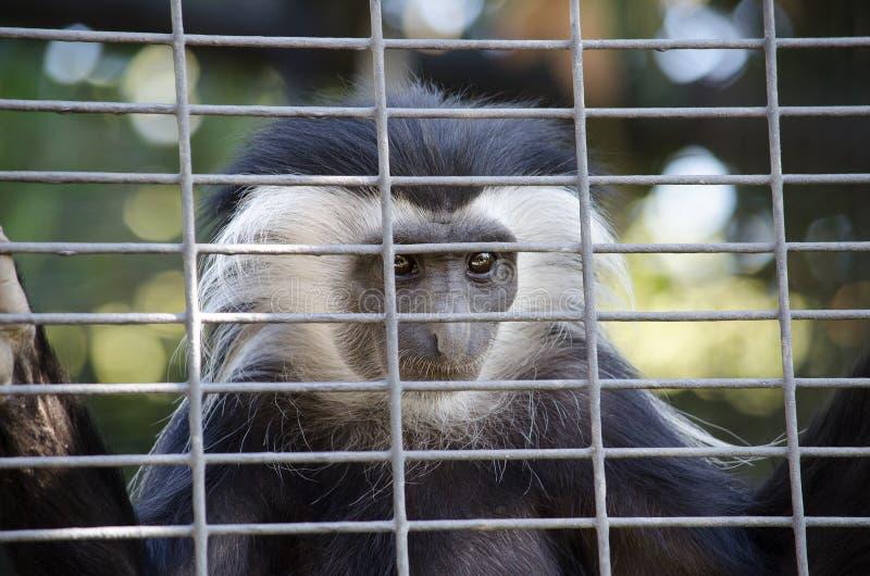 Πίθηκος Colobus που εξετάζει τους ανθρώπους μέσω του κλουβιού στοκ φωτογραφία