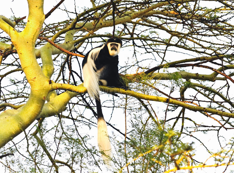 πίθηκος colobus στοκ εικόνα