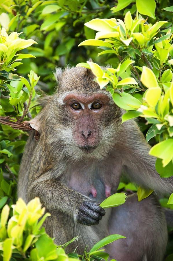 πίθηκος hua 03 hin στοκ φωτογραφία