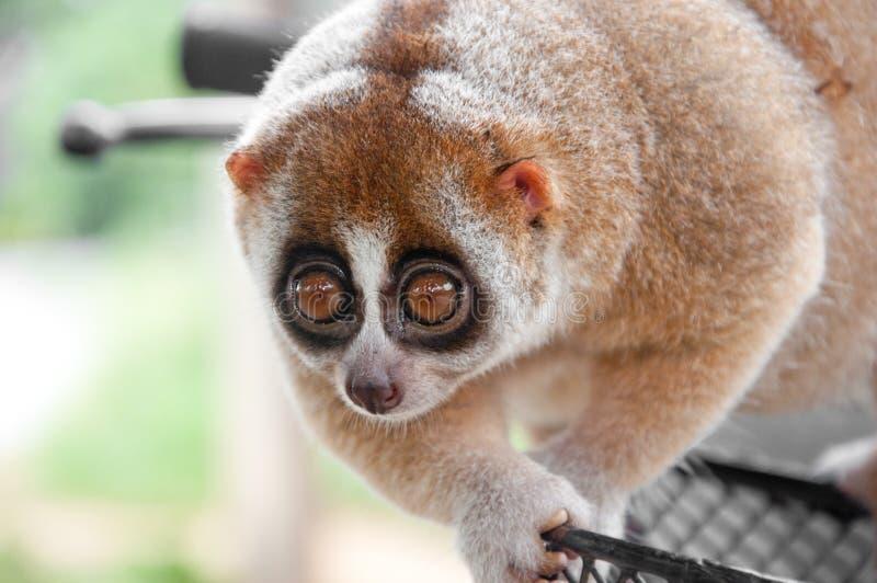 πίθηκος loris αργός στοκ φωτογραφία με δικαίωμα ελεύθερης χρήσης