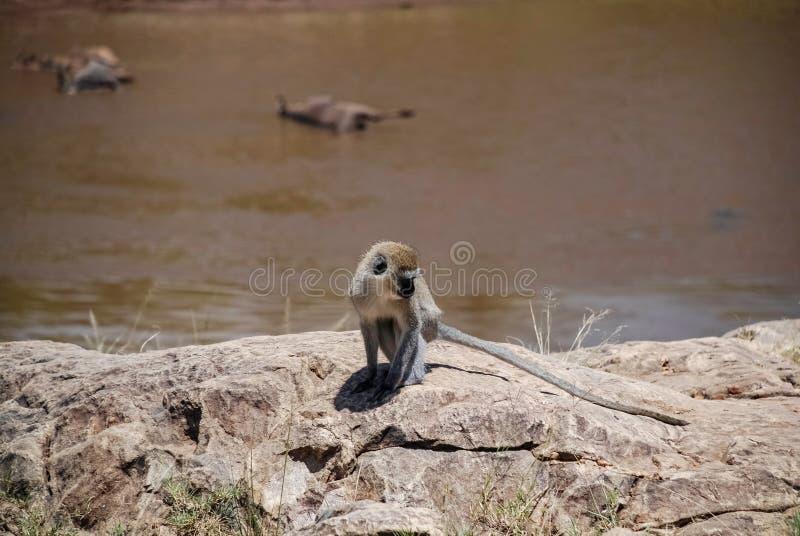 Πίθηκος Maasai Mara εθνικό Reservek Κένυα Vervet στοκ φωτογραφία με δικαίωμα ελεύθερης χρήσης