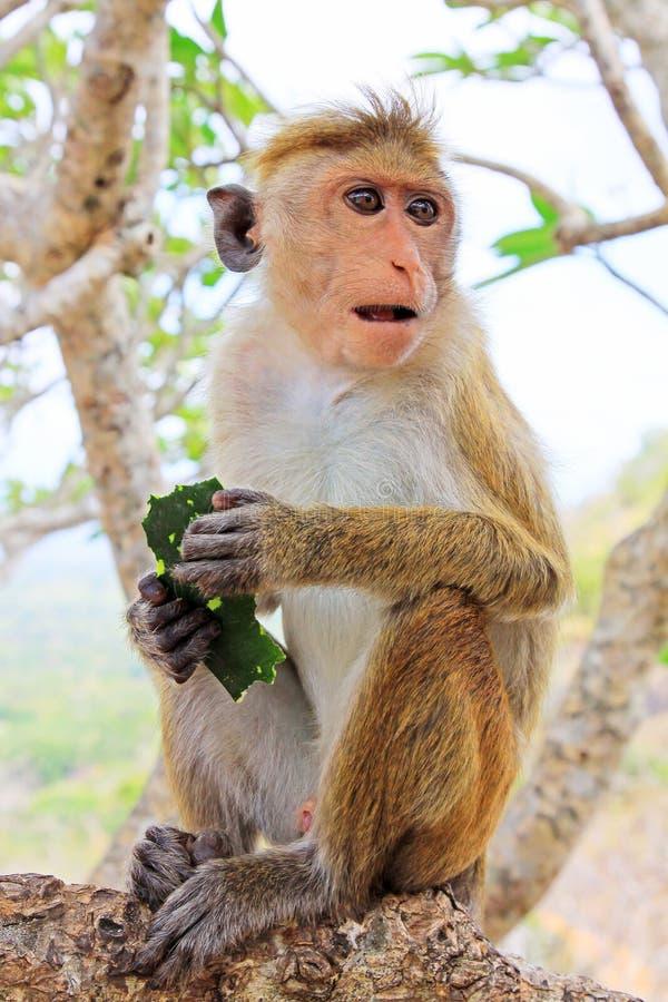 Πίθηκος Macaque τοκών, Σρι Λάνκα στοκ εικόνα
