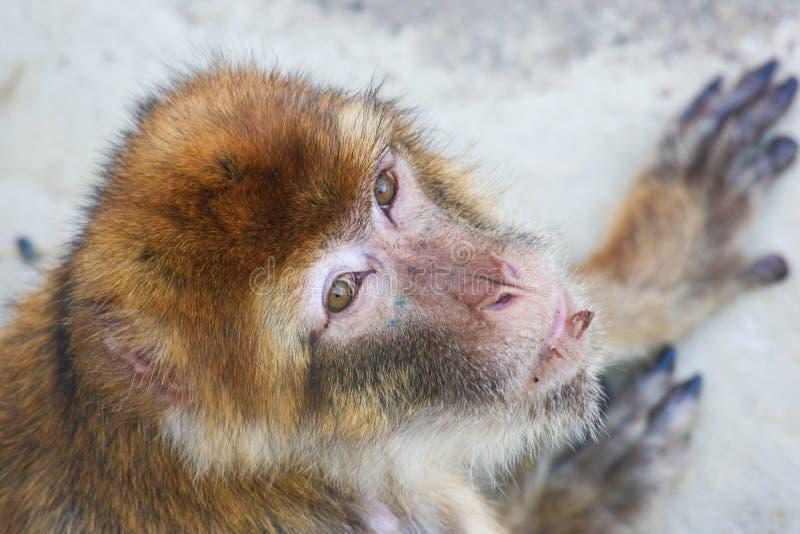 Πίθηκος Macaque του ρήσου μακάκου που ανατρέχει στοκ φωτογραφίες