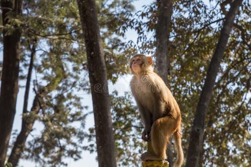 Πίθηκος Macaque του ρήσου μακάκου στο ναό Swayambhunath, Κατμαντού στοκ εικόνες