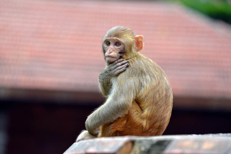 Πίθηκος Macaque στοκ φωτογραφίες με δικαίωμα ελεύθερης χρήσης