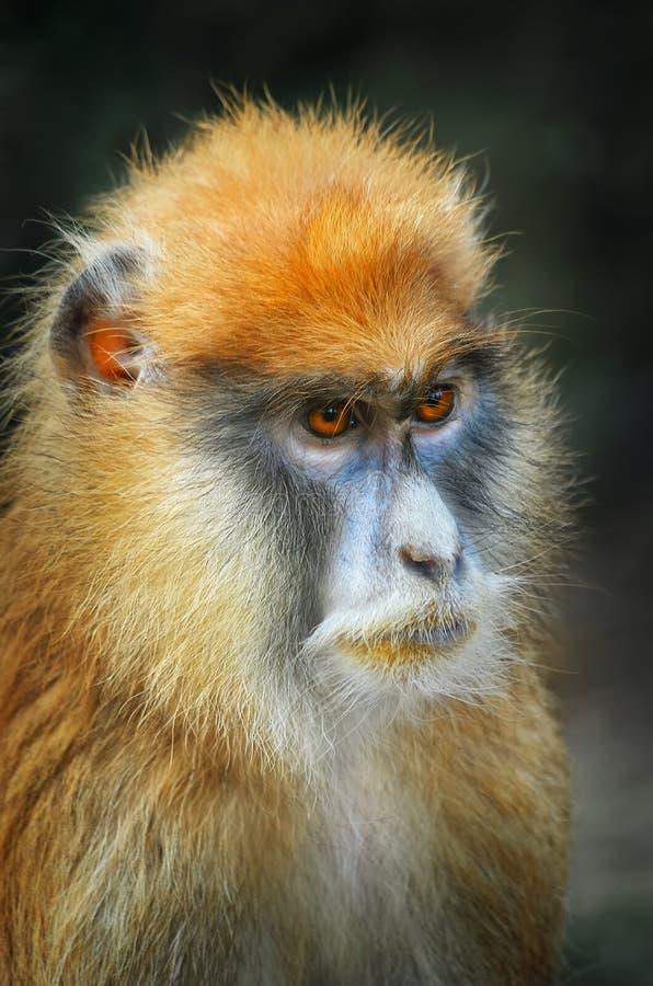 Πίθηκος Patas στοκ εικόνα