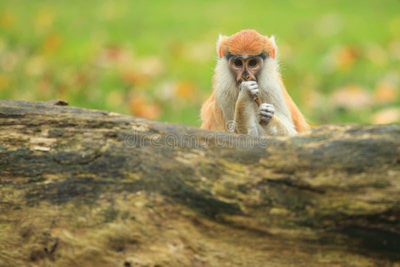 Πίθηκος Patas στοκ εικόνες