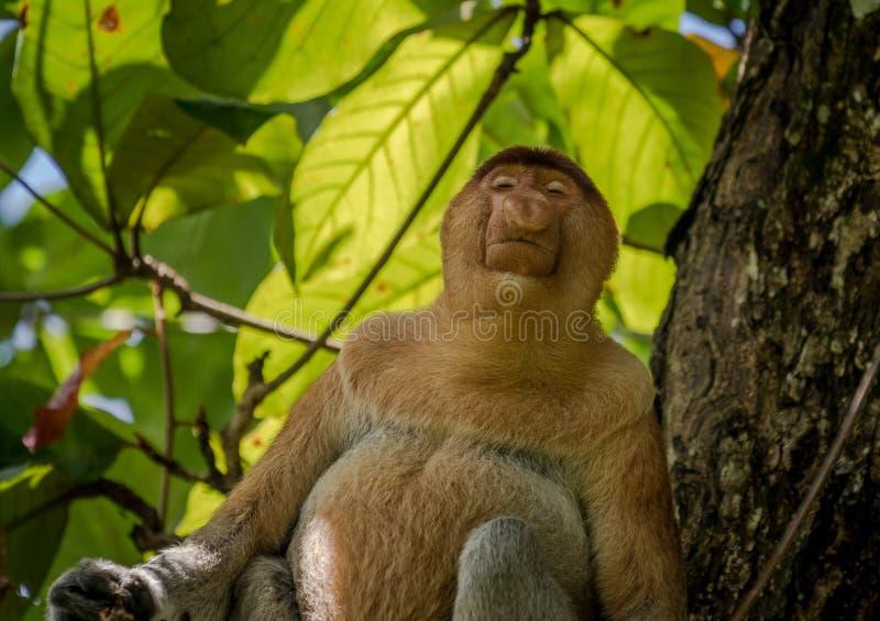 Πίθηκος Proboscis - ρινικό larvatus - στο δέντρο που κοιτάζει κάτω στοκ εικόνα