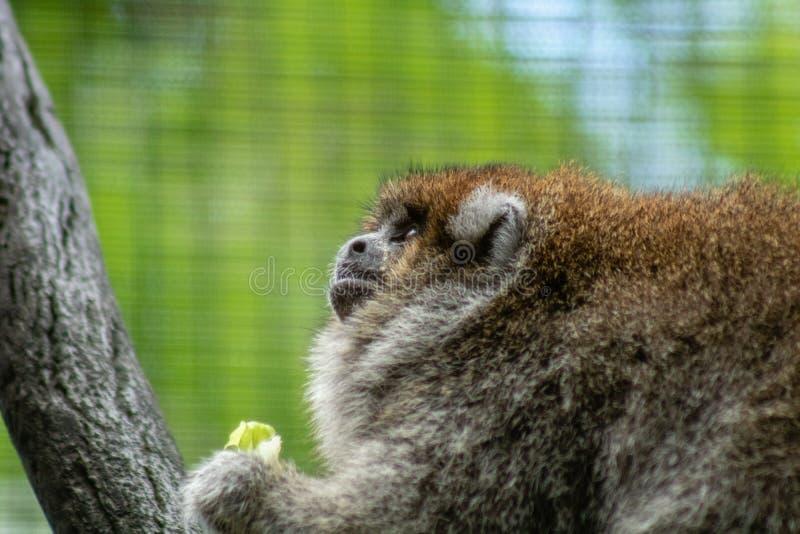 Πίθηκος Titi στοκ φωτογραφία με δικαίωμα ελεύθερης χρήσης