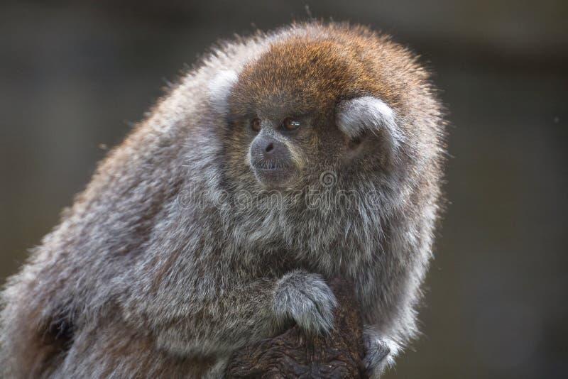 Πίθηκος Titi στοκ φωτογραφίες