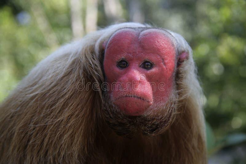 Πίθηκος Uakari, calvus Cacajao, στοκ εικόνες