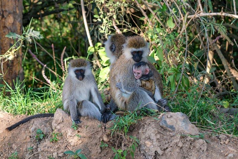 Πίθηκος Vervet ή pygerythrus Chlorocebus στοκ εικόνα