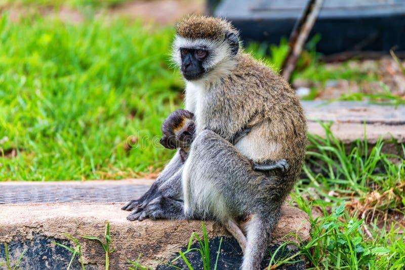 Πίθηκος Vervet ή pygerythrus Chlorocebus στοκ φωτογραφίες με δικαίωμα ελεύθερης χρήσης