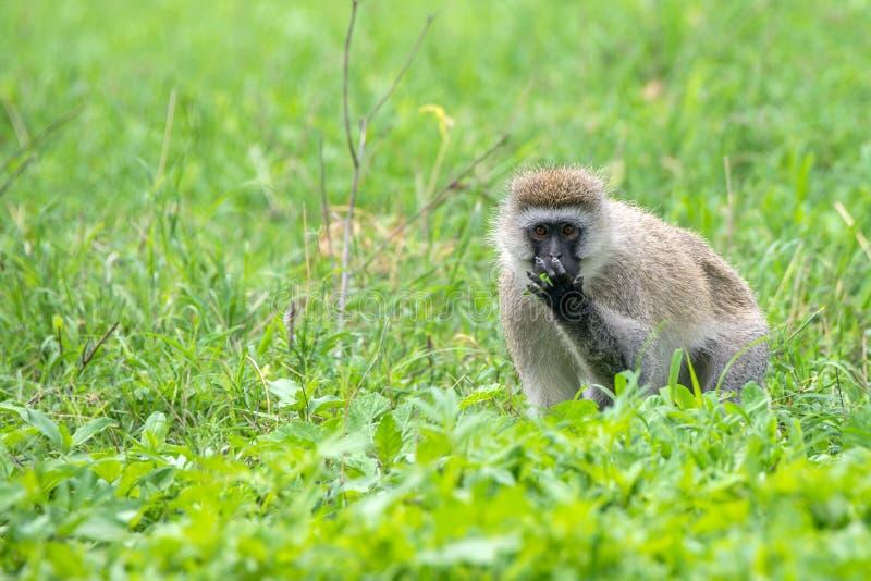 Πίθηκος Vervet ή pygerythrus Chlorocebus στοκ εικόνα με δικαίωμα ελεύθερης χρήσης
