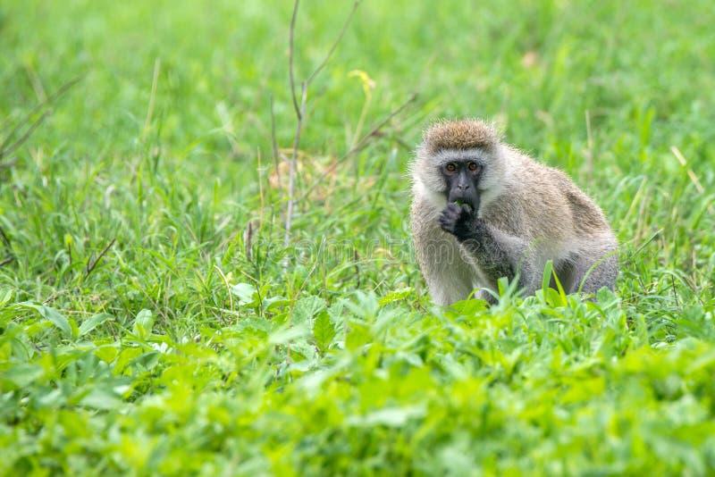 Πίθηκος Vervet ή pygerythrus Chlorocebus στοκ εικόνες