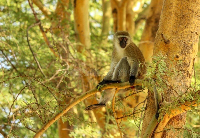 Πίθηκος Vervet στον κλάδο δέντρων ακακιών στοκ εικόνες
