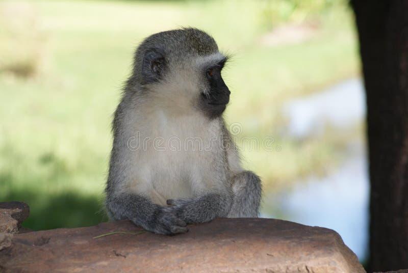 Download πίθηκος vervet στοκ εικόνες. εικόνα από βακκινίων, περίεργος - 13182726