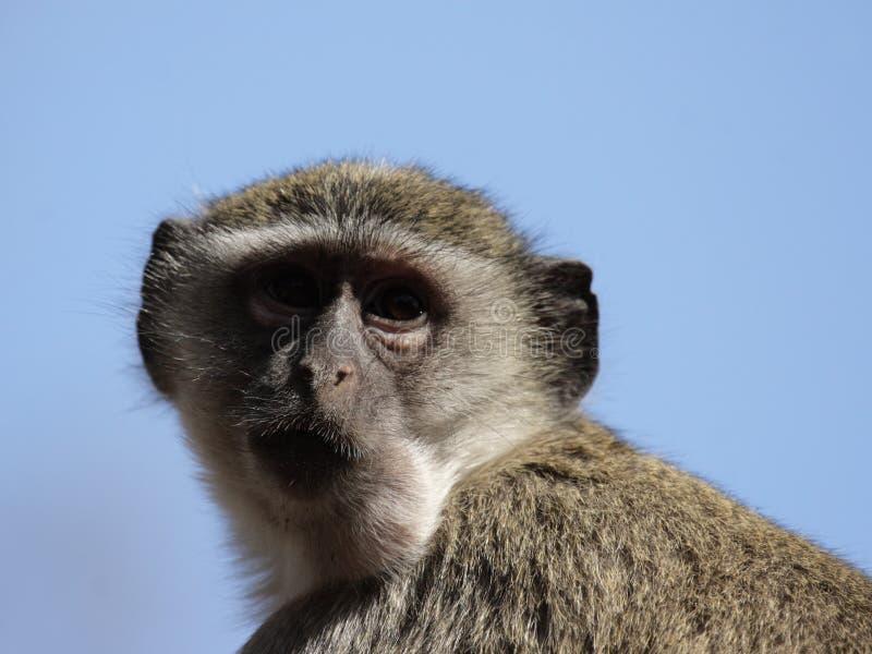 πίθηκος vervet στοκ φωτογραφία