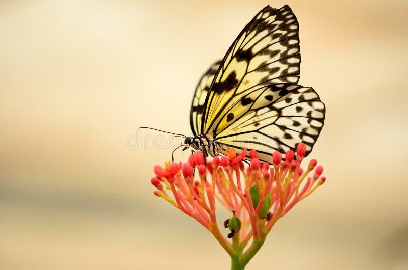 Πίσω αναμμένη πεταλούδα σε ένα κόκκινο λουλούδι στοκ φωτογραφία