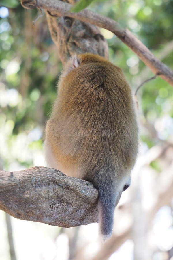 Πίσω πίθηκος στροφής στο δέντρο στοκ εικόνες