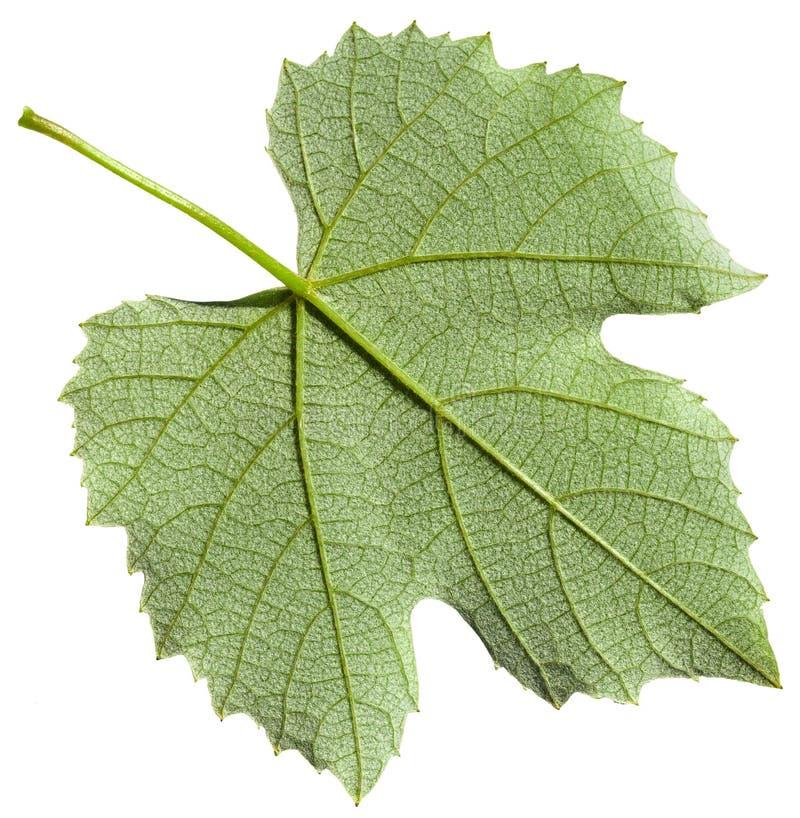 Πίσω πλευρά του πράσινου φύλλου του φυτού αμπέλων σταφυλιών στοκ εικόνα με δικαίωμα ελεύθερης χρήσης