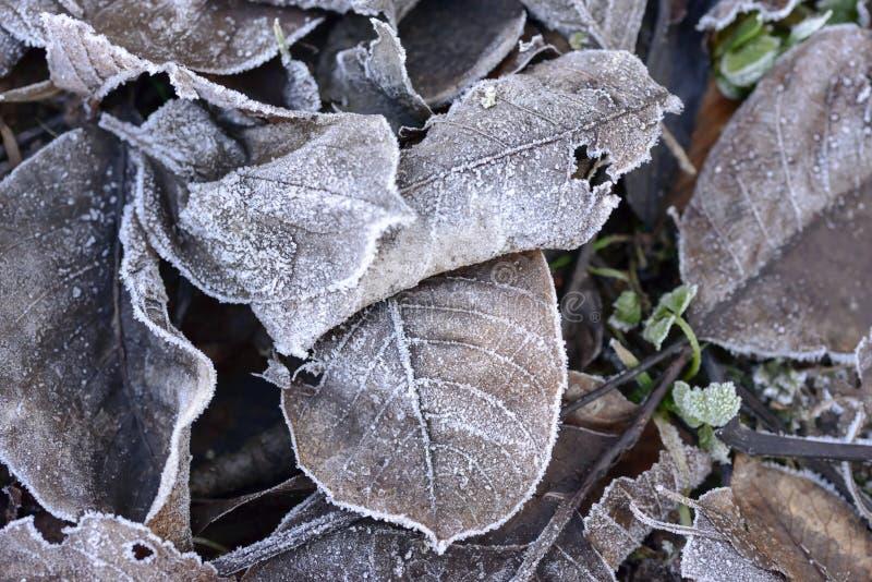 Παγετός στα νεκρά χειμερινά φύλλα στοκ φωτογραφίες με δικαίωμα ελεύθερης χρήσης